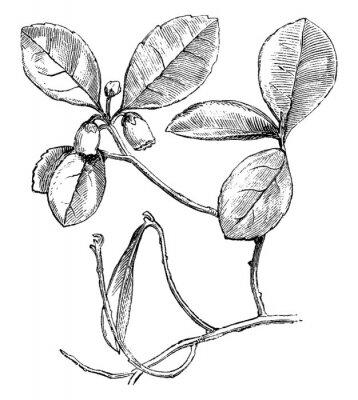Póster Flowering Branch of Gaultheria Procumbens (Creeping Wintergreen) vintage illustration.