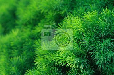 Fondo de árboles de coníferas
