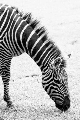 Póster Foto blanco y negro de cebra