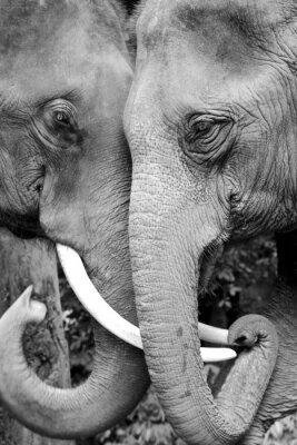 Póster Foto blanco y negro de cerca de dos elefantes de ser cariñosa.