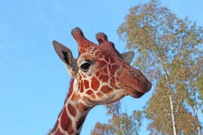 Póster Foto de la jirafa