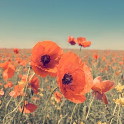 Póster Foto de la vendimia del paisaje de verano con flores silvestres de amapola.