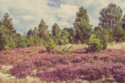 Póster Foto del vintage del brezo en el bosque, paisaje del campo.