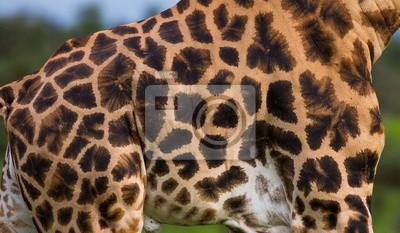 Fragmento de una piel de la jirafa. Uganda.
