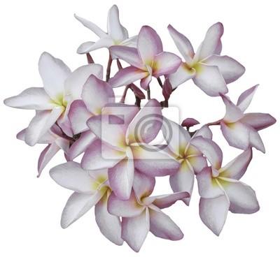Frangipani flores aisladas en blanco