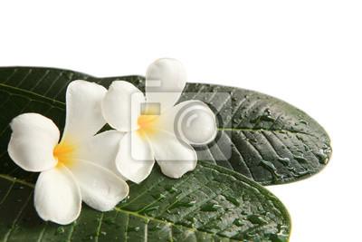 frangipani flores blancas en las hojas verdes