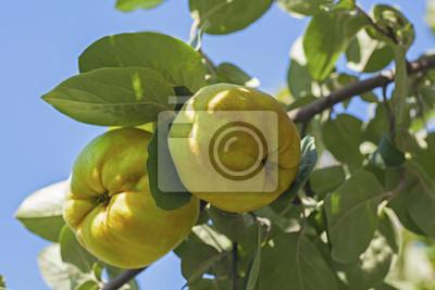 Frutas de membrillo maduras en una rama de árbol