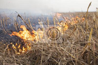Fuego en el campo de maíz de maíz cosechado