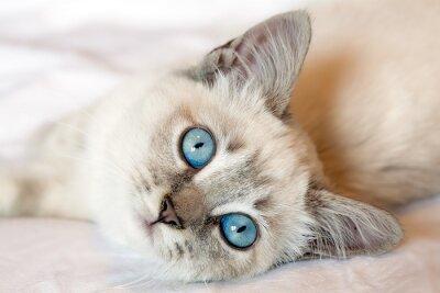 Póster Gatito de los ojos azules