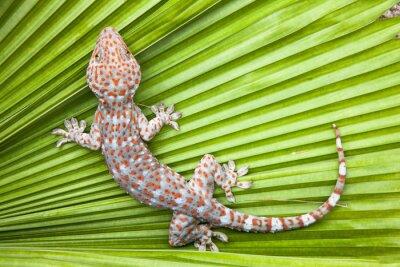 Póster Gecko manchado en una palma verde de la hoja.