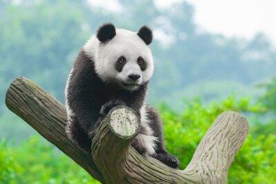 Póster Giant escalada oso panda en árbol