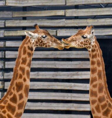 Póster Girafes, baiser