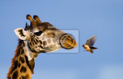 Giraffe con el pájaro. Una fotografía rara. Kenia. Tanzania. Este de Africa. Una excelente ilustración.