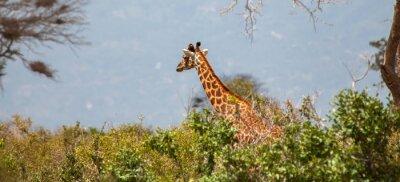 Póster Giraffe en Parque Nacional del este de Tsavo