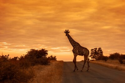 Giraffe in Kruger National park, South Africa
