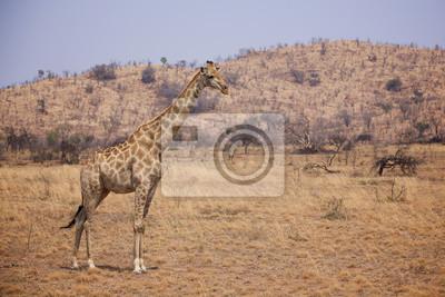 Giraffe standing on the African plains