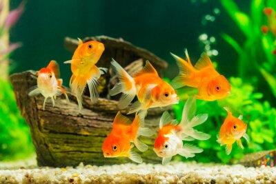 Póster Goldfish en acuario con plantas verdes
