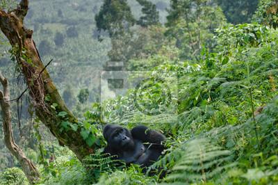 Gorila de montaña macho dominante en la hierba. Uganda. Parque Nacional del Bosque Impenetrable de Bwindi. Una excelente ilustración.