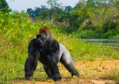 Gorilas de tierras bajas en estado salvaje. República del Congo. Una excelente ilustración.