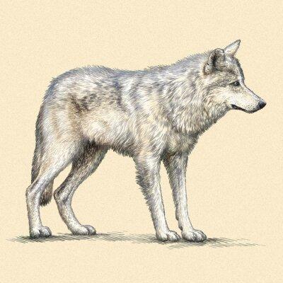 Póster Grabar lobo ilustración