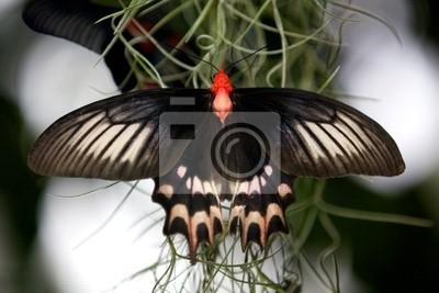 Gran Billy mariposa (atrophaneura semperi)