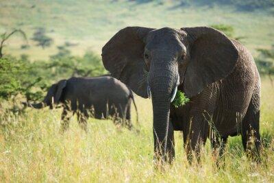 Póster Gran elefante africano en el parque nacional serengeti