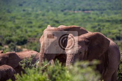 Gran grupo de elefantes en el Parque Nacional de Addo, Sudáfrica.