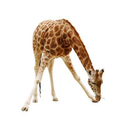 Póster gran jirafa aislado en un fondo blanco
