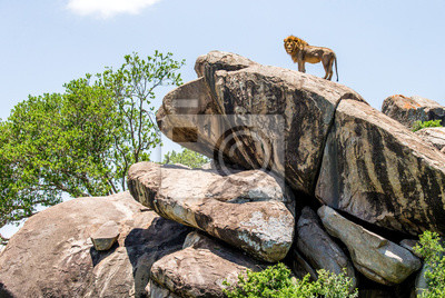 Gran león macho en una gran roca. Parque Nacional del Serengeti. Tanzania. Una excelente ilustración.