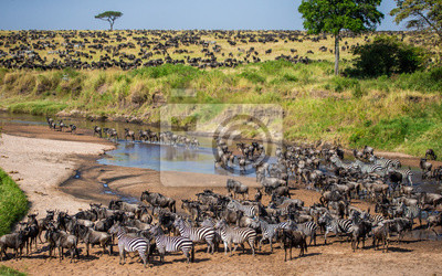 Gran manada de ñus en la sabana. Gran migración. Kenia. Tanzania. Parque Nacional Maasai Mara. Una excelente ilustración.