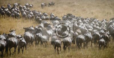 Gran manada de ñus en la sabana. Gran migración. Kenia. Tanzania. Parque Nacional Masai Mara. Una excelente ilustración.