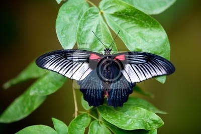 Gran mariposa Mormón en una planta