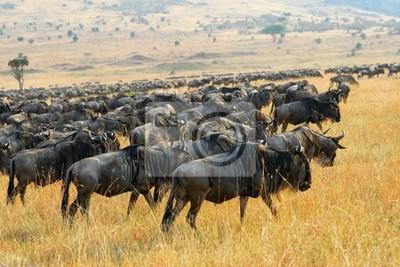 Gran migración de antílopes ñu, Kenia