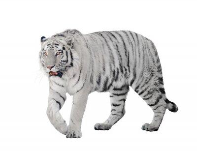 Póster gran tigre albino aislado en blanco