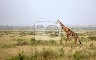 Grande adulto jirafa caminar