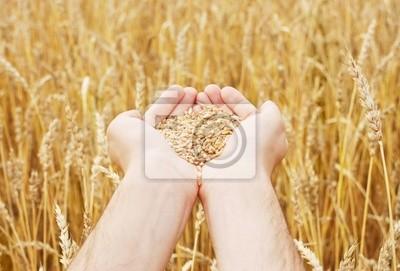 Grano del trigo en las manos de la persona