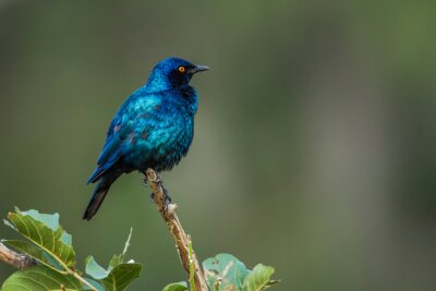Greater Blue-eared Glossy Starling grooming isolated in natural background in Kruger National park, South Africa ; Specie Lamprotornis chalybaeus family of Sturnidae