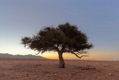 Green shepherd's tree in dry Namib Desert