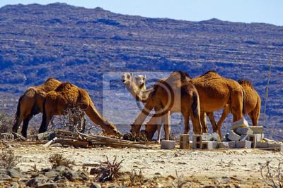 Grupo de camellos en el desierto de Omán