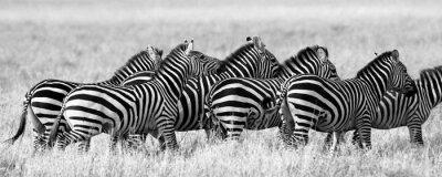 Póster Grupo de cebras en la sabana. Kenia. Tanzania. Parque Nacional. Serengeti. Maasai Mara. Una excelente ilustración.