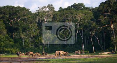 Grupo de elefantes del bosque en el borde del bosque. República del Congo. Reserva Especial Dzanga-Sangha. República Centroafricana. Una excelente ilustración.