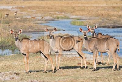 Grupo de hembras kudu con oxpeckers