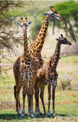 Póster Grupo de jirafas en la sabana. Kenia. Tanzania. Este de Africa. Una excelente ilustración.