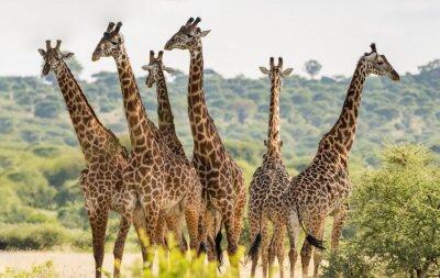 Póster Grupo de seis jirafas en el Parque Nacional Tarangire, Tanzania