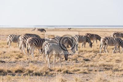 Grupo de Zebra Etosha