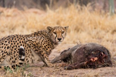 Guepardo en la matanza del warthog