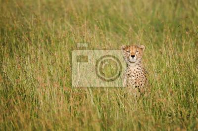 Guepardo en la sabana africana