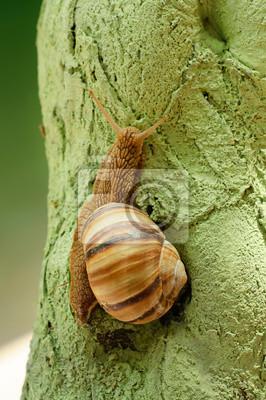 Helix pomatia (caracol de uva)