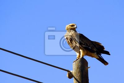 Hermosa águila imperial oriental crecido