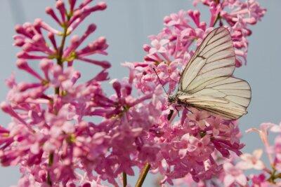 Póster Hermosa mariposa sentado en las flores de lila